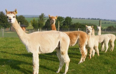 Sparsholt College lines up their alpacas for the start of term