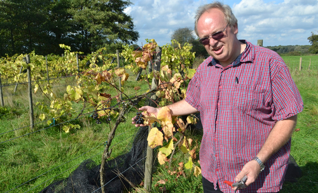 Bumper crop of grapes at 'forgotten' vineyard