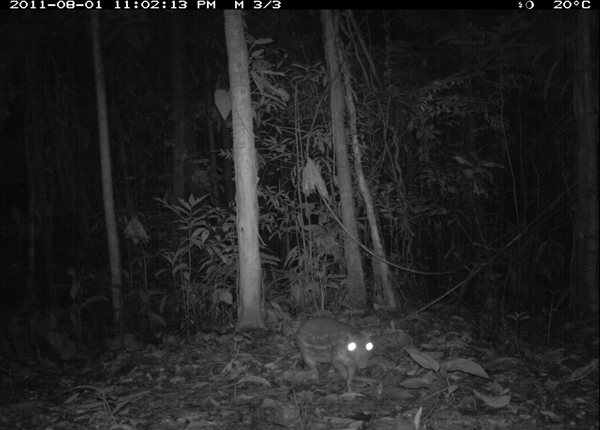 A Paca rodent in  a national park  in Peru caught  by Dr Grant's  motion camera PHOTO: TEAM  Network