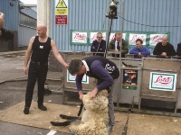 6. sheep shearing