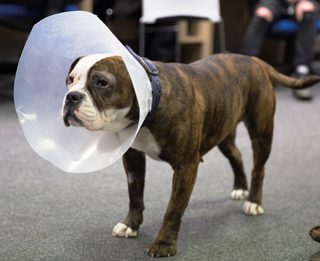 Lucky bulldog saved by surgery