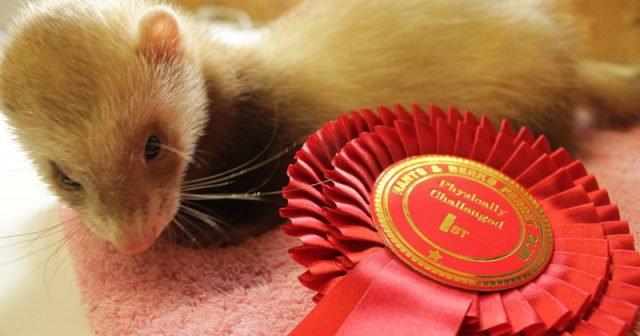 Three-legged ferret scoops the top title at exclusive ferret show