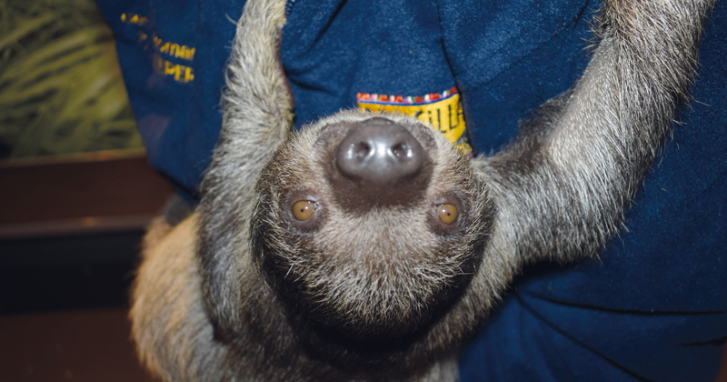 College student balances studies with hand-rearing orphaned sloth