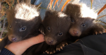 Racoon dog pups make history at college