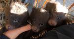 Racoon dog pups make history at college