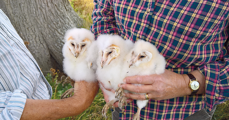 Student nesting box project proves successful after discovery of baby barn owls