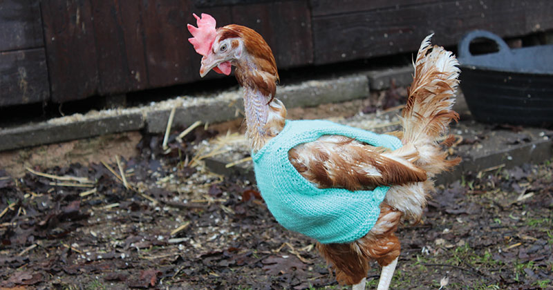 Former battery hens wear jumpers knitted by learners
