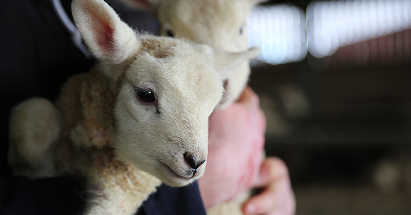 Agriculture students battle the elements to help 400 sheep give birth