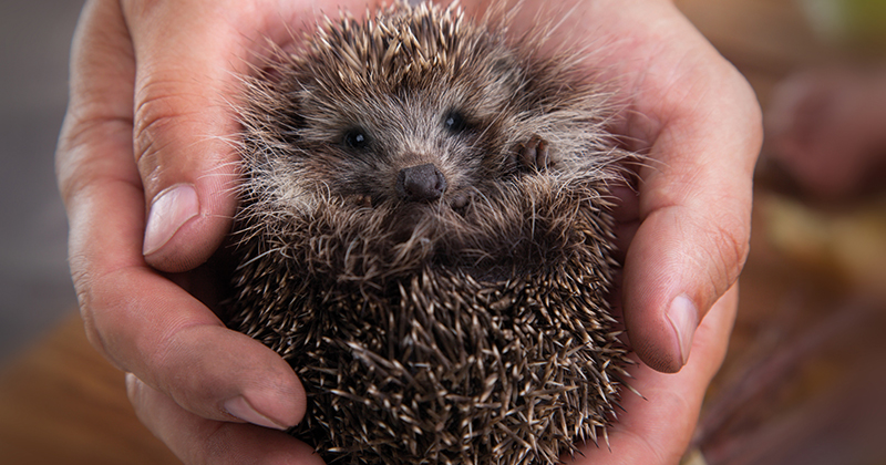 Britian's hedgehog experts convene at Hartpury College