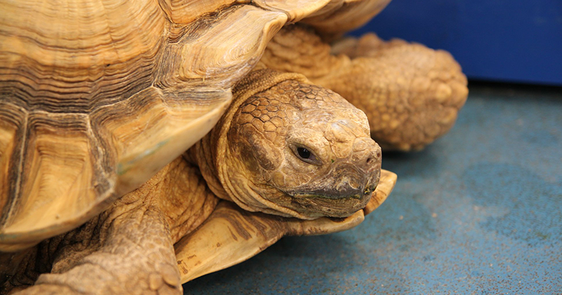 Shell-shocked: Four giant tortoises stolen from college